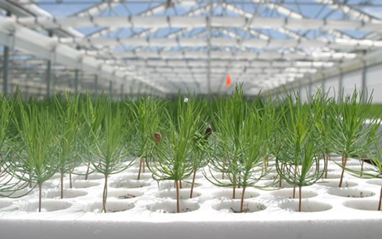 Ponderosa pine seedlings.
