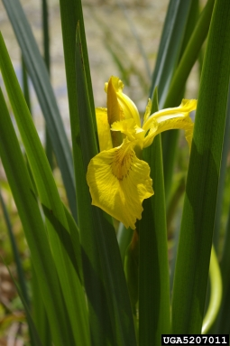 Irises asexual reproduction in bacteria