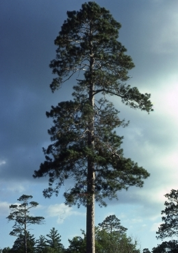 Age of mature pines