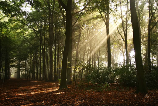 Rays of sunshine filtering into a forest scene.