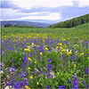 A high mountain prarie with lush green grass and a variety of flowers in bloom.