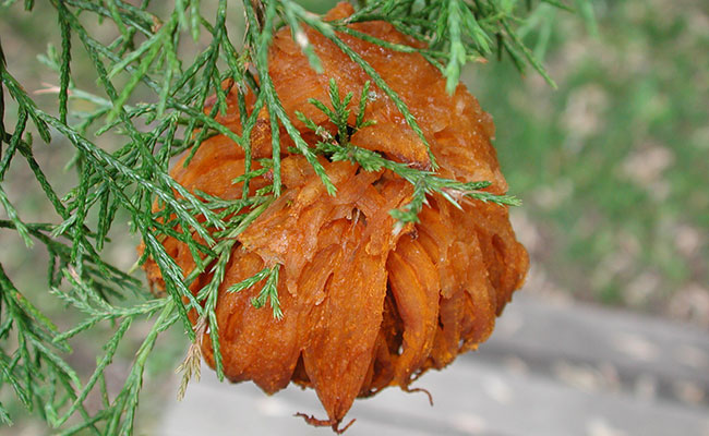 Cedar apple rust photo