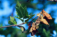 Sycamore anthracnose photo