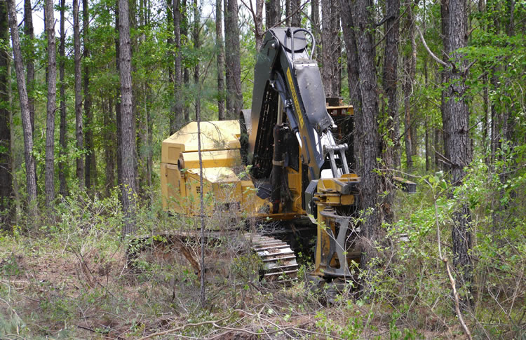 Felling loblolly pine (Pinus taeda) trees with a swing-to-tree feller-buncher.