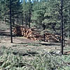 A log deck in an active thinning harvest of a ponderosa pine stand.