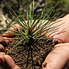 A pine seedling in a person's hands.