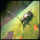 A photo of a Asian longhorned beetle. (USDA)