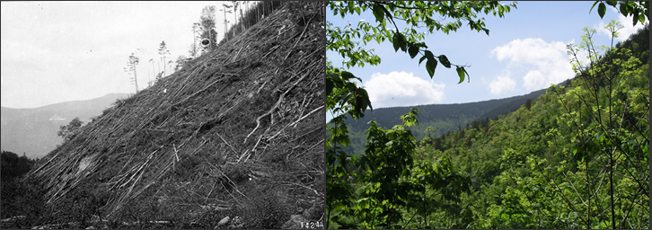These two photos show the same landscape on the White Mountain National Forest. The photo on the left was taken in 1910 and shows the logged-over hillside. The photo on the right was taken recently in the same place and depicts a healthy restored forest.