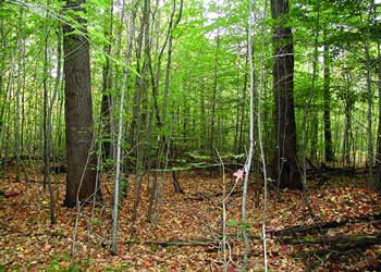 Heavily thinned Allegheny hardwood plots on the Kane Experimental Forest, Pennsylvania.
