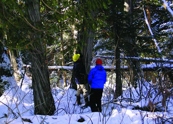 Foresters inspect a northern white-cedar tree in northern Maine.