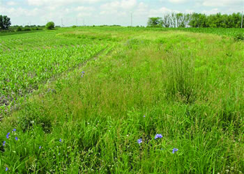Prairie strip embedded in an agricultural (corn) watershed. The prairie strips increase nutrient and sediment retention, reduce runoff, and increase biodiversity.