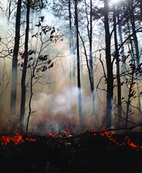 A prescribed fire burning in the New Jersey Pinelands. Prescribed fires reduce stand leaf area, resulting in lower evapotranspiration and increased ground water recharge during the following growing season.