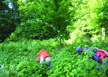 Researchers search under thick raspberry (Rubus sp.) for tree seedlings in a large gap 13 years after harvest.