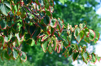Leaf scorch and drought symptoms in linden.