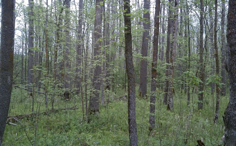 Black ash stand in swampy land on the Chippewa National Forest near Cass Lake, Minnesota. Photo  by Louis Iverson, USDA Forest Service