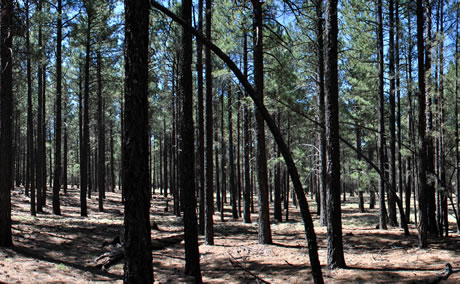 Low stocking in ponderosa pine forest in Taylor Woods, Fort Valley Experimental Forest.  Photo by Alessandra Bottero, University of Minnesota