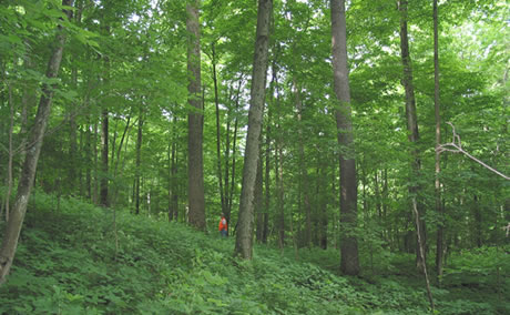 Compartment 8C on the Fernow Experimental Forest has been harvested seven times since 1948 using uneven-aged management technique and continues to be a productive stand. Photo by Richard Hovatter, USDA Forest Service