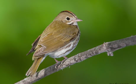 The ovenbird (Seiurus aurocapilla) has had significantly increasing numbers on western three Great Lakes national forests since 1995. Photo by Jon Swanson