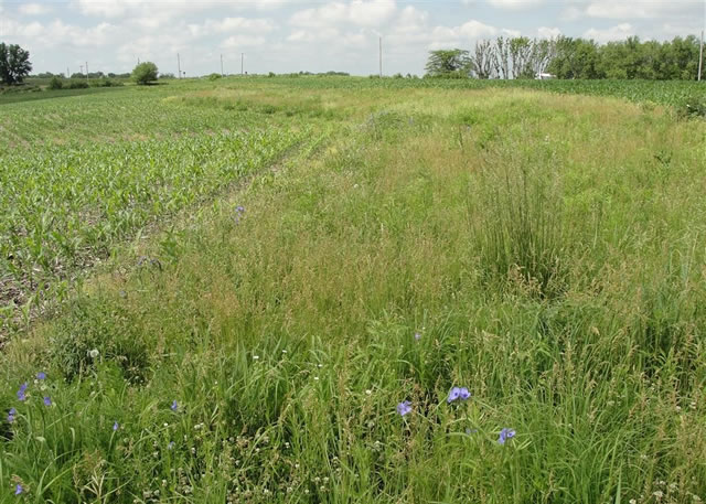 Prairie strip embedded in an agricultural (corn) watershed.  The prairie strips increase nutrient and sediment retention, reduce runoff, and increase biodiversity.  Photo by Dr. Matt Helmers,  Iowa State University