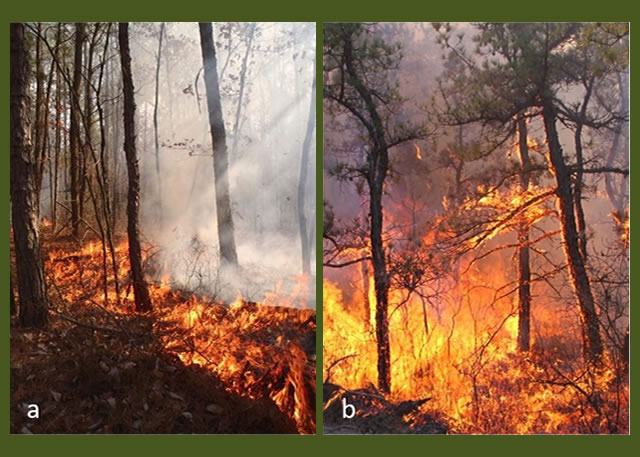 a) a low intensity surface fire and b) a high intensity fire starting to transition to the forest canopy in the Pinelands National Reserve, New Jersey.  Photos by  Michael Gallagher and Nicholas Skowronski, USDA Forest Service