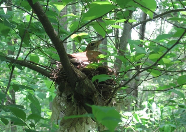 Wood thrush nests were monitored to gauge reproduction on managed forests.