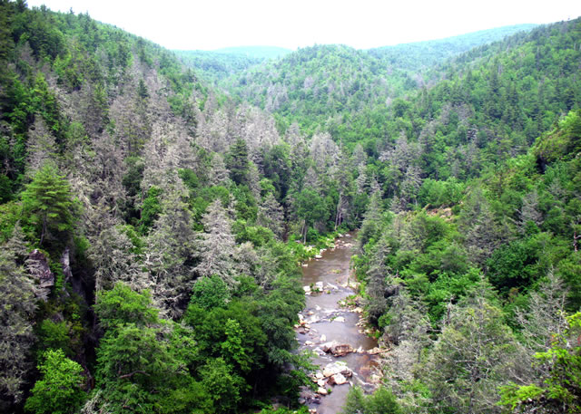Trees known as gray ghosts are a common sight in the southern Appalachians. A hemlock woolly adegid infestation has killed many hemlock trees in the Linville Gorge area of Pisgah National Forest in North Carolina. U.S. Forest Service photo by Steve Norman.