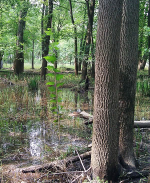Restoration of flood plains impacted by emerald ash borer, Newly planted elm seedlings beside an ash tree.