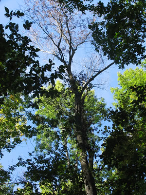Rapidly declining crown of bitternut hickory in Wisconsin. Photo by Jennifer Juzwik, US Forest Service NRS.