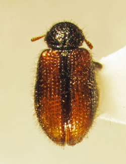 Laricobius rubidus, a native Eastern beetle species that is hybridizing with   a Western species introduced as a biological control of hemlock woolly adelgid. Photo  by Nathan Havill, US Forest Service NRS.
