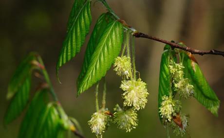 American beech flowers, Photo by Vern Wilkins, Indiana University