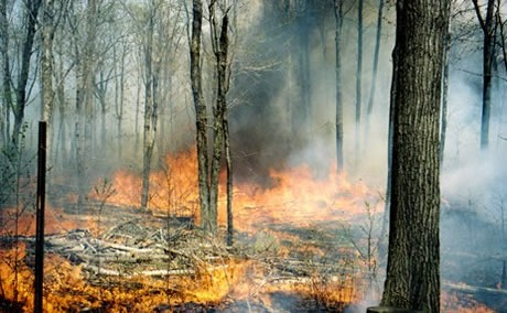 Dormant-season prescribed fires in mixed oak forests with an intact canopy provide little initial benefit to oak seedlings. However, several such fires conducted over a decade or more and eventually coupled with substantial canopy disturbance will lead to successful regeneration of oak. USFS photo.