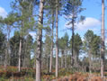 Photo of pine forest in the Northern Lake States. Photo credit: David M. Hix, The Ohio State University.