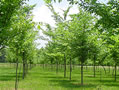 The Nature Conservancy is a longtime partner in bringing back the American elm.
