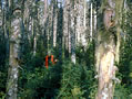 Research on spruce-fir forests impacted by spruce budworms helps scientists understand the complex dynamics of these forests. Photo by Doug Maguire, Oregon State University, Bugwood.org.