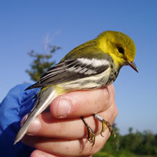 Black-throated green warblers like this one were abundant in harvested openings following the breeding season.
