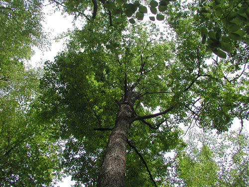 Beech Maple Forest ~ Central appalachians forest ecosystem vulnerability