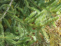 Healthy red spruce.  Photo by Paul Schaberg, US Forest Service, Northern Research Station.