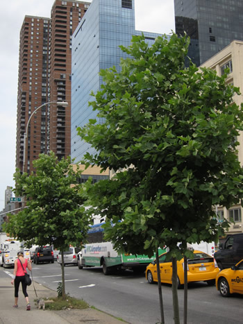 London plane trees like the ones lining 10th Street in Manhattan, get high marks for carbon abatement, in part because of their long life span. Photo courtesy of New York City Department of Parks & Recreation.