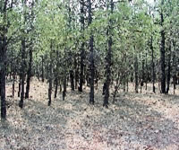 [image] A picture of small diameter Ponderosa Pines - high stand density.