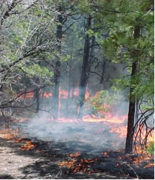 Prescribed fire consuming ground fuels.