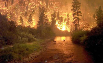 An image of the Bitterroot Fires in 2000.  The image show two deer standing in the middle of a creek with a large hillside fire in the background.