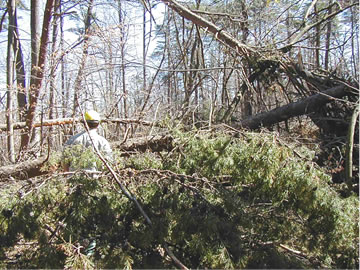 An image displaying an example of extreme levels of debris, often six to seven feet in depth providing a highly increased level of hazardous fuel on the forest floor as a result of the storm. Various methods of reducing these hazardous fuel levels were used.