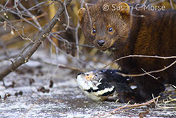 Fisher with Hooded Merganser, Copyright Susan C. Morse, used by permission.