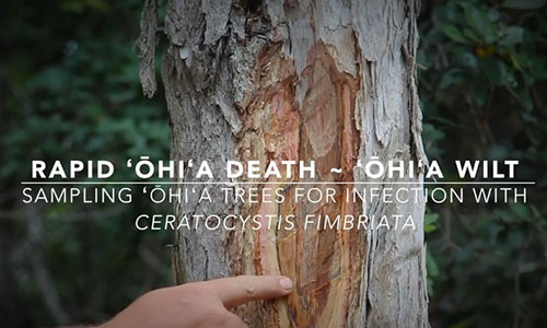 A YouTube screenshot on how to detect a tree infected with Ohia wilt.