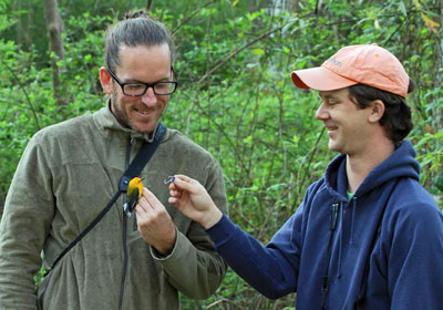 The authors of the study retrieve a geolocator from a Prothonotary Warbler