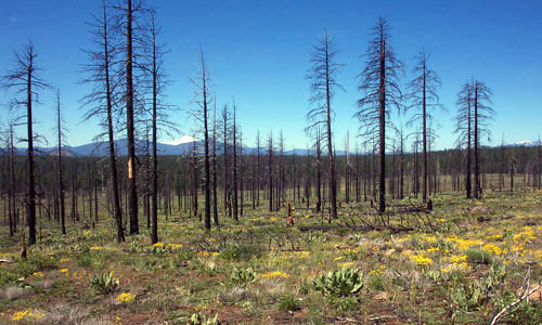 A look at a plot with 50 percent salvage logging treatment following the 2002 Cone Fire.