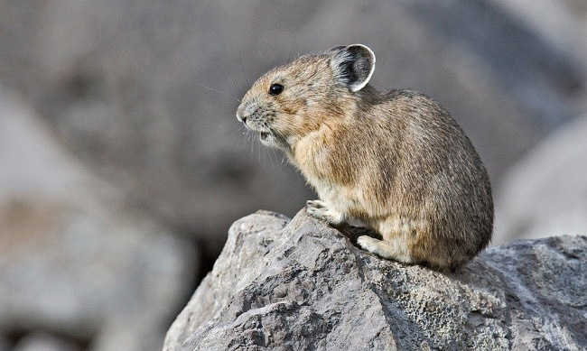 New research suggests that American pikas can tolerate changes in climate better than expected.