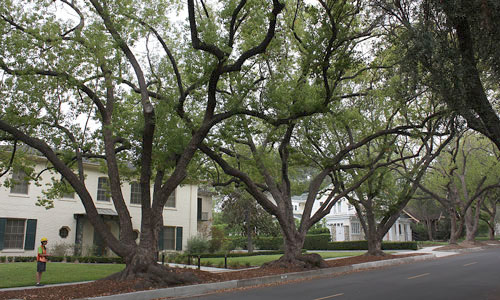 Mature camphor trees along a street in Claremont, California.