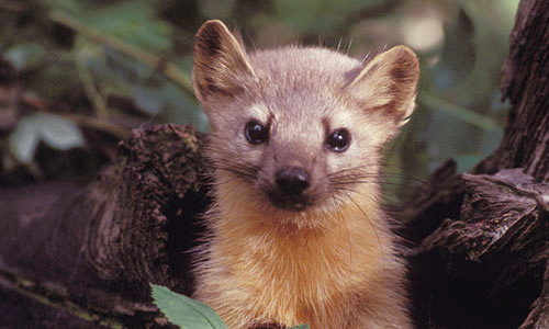 An American Marten looking straight at the camera.