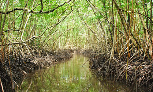 A mangrove forest in the nation of Palau. U.S. Forest Service photo.